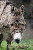 foto of headstrong  - picture of a Poor wet donkey on the rain - JPG