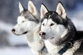 stock photo of husky sled dog breeds  - Portrait of siberian husky sled dog at snowy winter - JPG