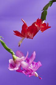 stock photo of schlumbergera  - Two flower Christmas Cactus  - JPG