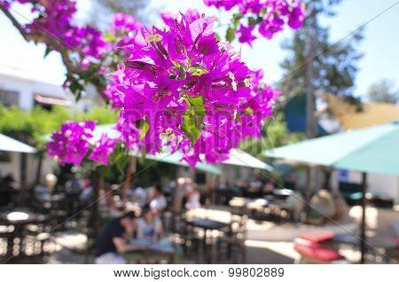 closeup of some purple bougainvillea flowers in a patio in Ibiza Island, Spain