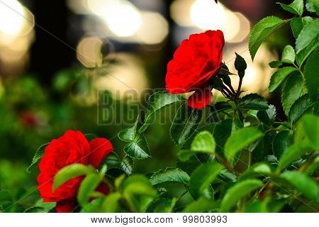 Beautiful Red Roses In Front Of Blurred Background