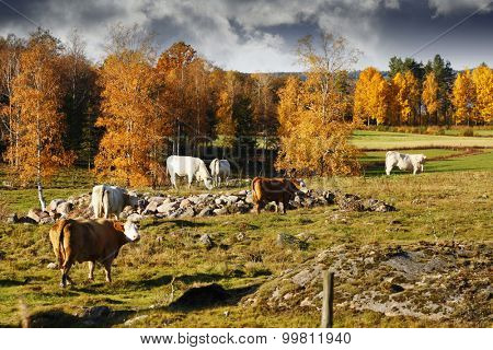 grazing cows, cattle in an old rural farming landscape, Sweden