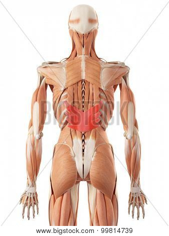 medically accurate illustration of the serratus posterior inferior