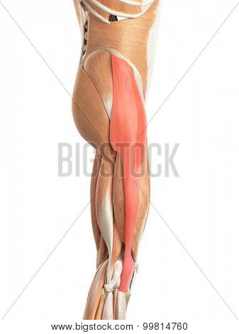 medically accurate illustration of the tensor fascia lata