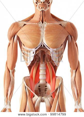 medically accurate illustration of the psoas major