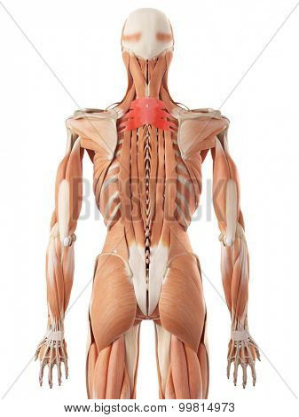 medically accurate illustration of the serratus posterior superior