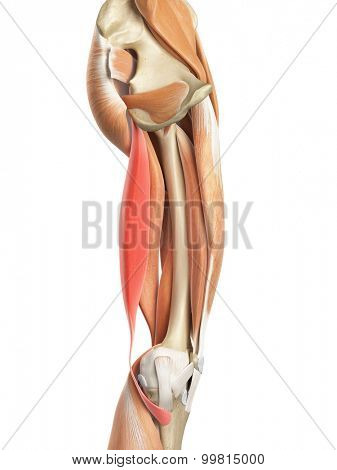 medically accurate illustration of the semitendinosus