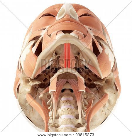 medically accurate illustration of the geniohyoid
