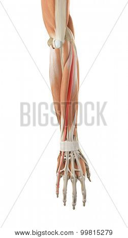 medically accurate illustration of the extensor digiti minimi