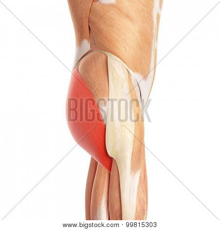 medically accurate illustration of the gluteus maximus