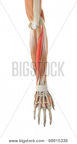 medically accurate illustration of the extensor carpi ulnaris