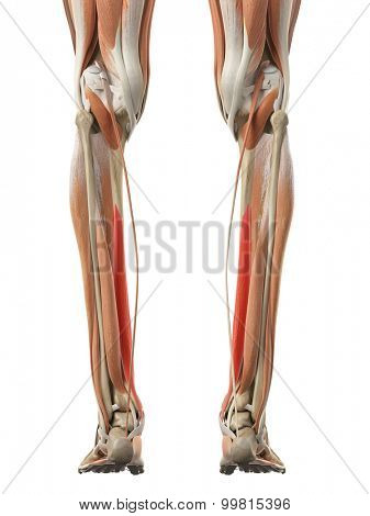 medically accurate illustration of the flexor digitorum longus