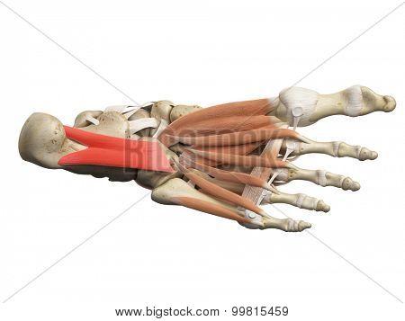 medically accurate illustration of the quadratus plantae