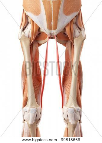 medically accurate illustration of the gracilis
