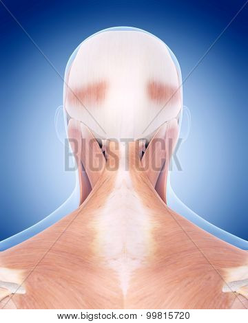 medically accurate illustration of the neck muscles