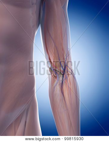 medically accurate illustration of the elbow anatomy
