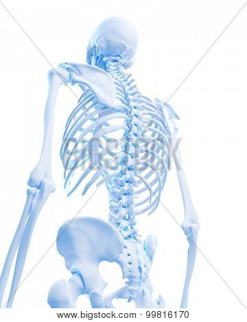 medically accurate illustration of skeletal back
