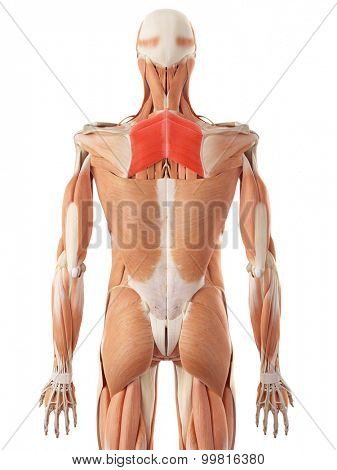 medically accurate illustration of the rhomboid