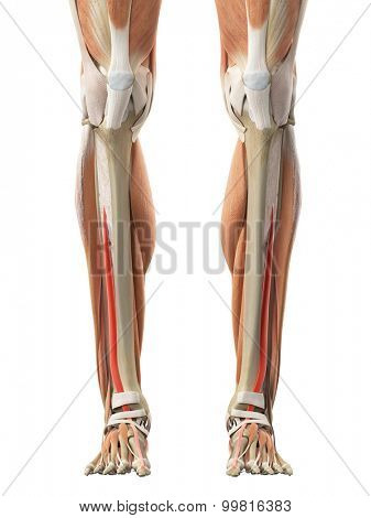 medically accurate illustration of the extensor hallucis longus