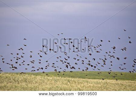 Flock Of Black Birds In Flight