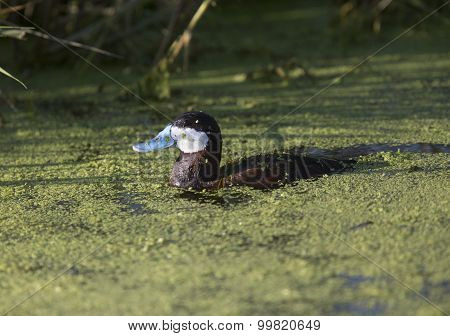 Ruddy Duck In Green Water