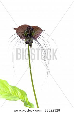 Tacca Chantieri Var Macrantha, Black Bat Flower Isolated