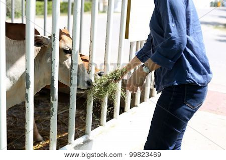 Woman Feeding Cow With Hay