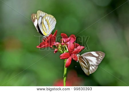 Two Butterflies On The Flower