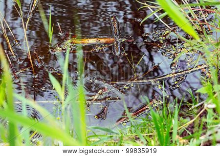 Swamp Water With Duckweed