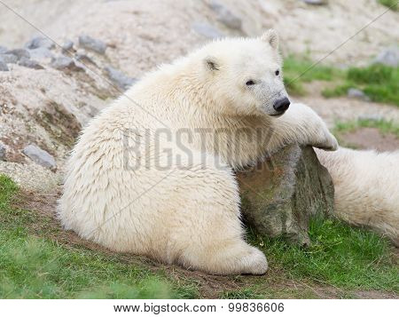 Young Polarbear Resting
