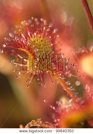 Leaf Sundew Close Up