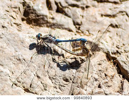 Two Mating Dragonflies On A Rock