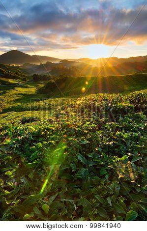Tea Plantation Landscape Sunrise