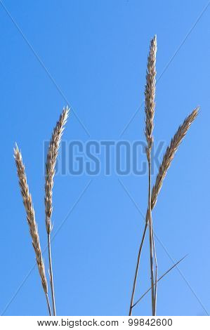 Closeup Of Marram Grass Or Beachgrass (ammophila Arenaria) Against Blue Sky