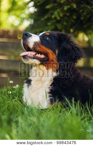 Bernese mountain dog, on the grass