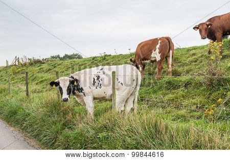 Cow With Its Head Between The Barbed Wire
