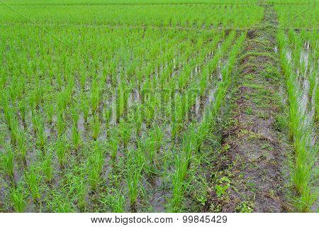 Green Paddy rice farmland