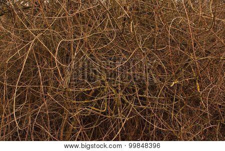 Bush Texture. Natural Background.