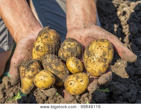 Potatoes freshly dug from the earth