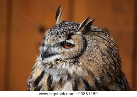 Indian eagle-owl (Bubo bengalensis), also known as the Bengal eagle-owl. Wild life animal.