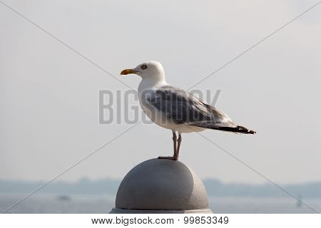 Seagull Sitting On  Parapet In Front Of The Beach