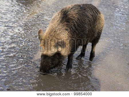Wild Pig On Liquid Dirty Ground