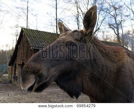 Elk In The Zoo In Germany