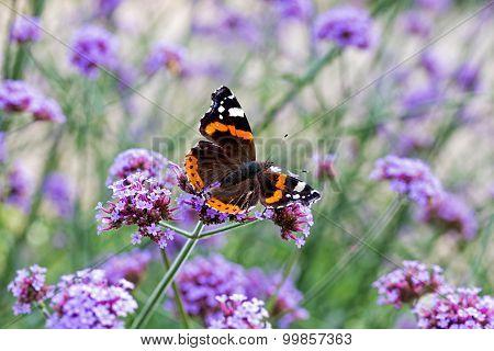 Butterfly On Purple Flowers In Sunlight