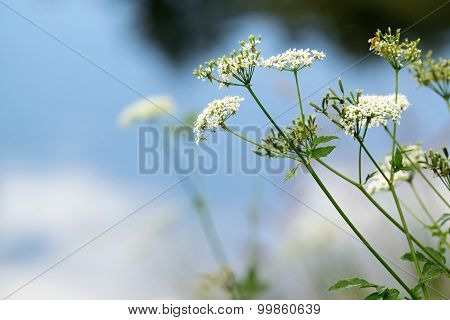 The Wild Small Blossoming White Flowers