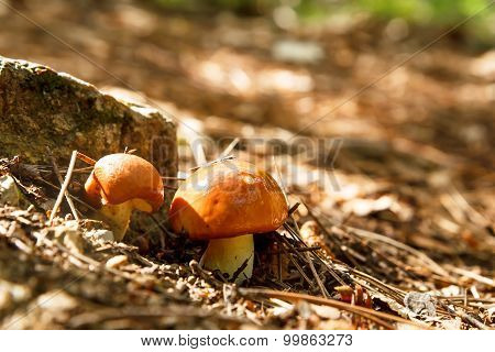 Annulated Boletus
