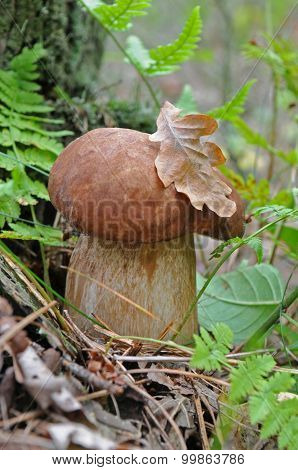 Cep In The Forest - Close-up