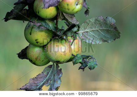 Unripe Organic  Apples In Orchard