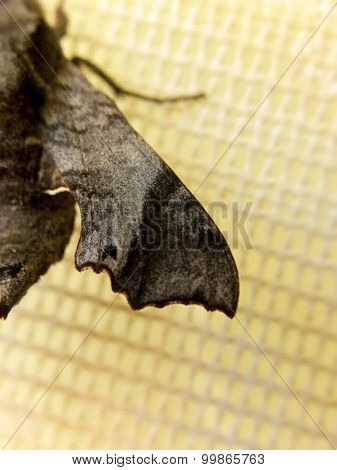 Sphinx moth wing