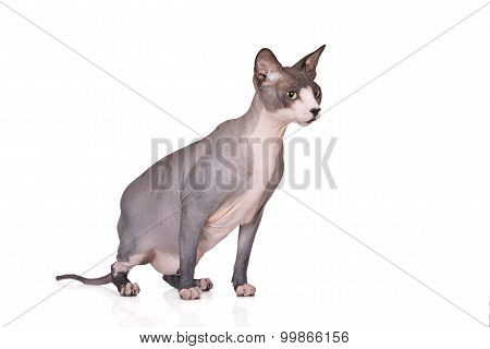 canadian sphynx cat on whitw